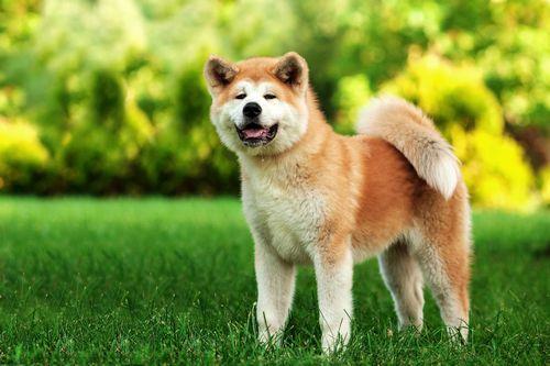 Mengenal Akita Trah Anjing Cerdas Kebanggaan Jepang