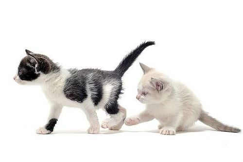 Kucing Jantan Atau Betina Mana Yang Sebaiknya Dipelihara