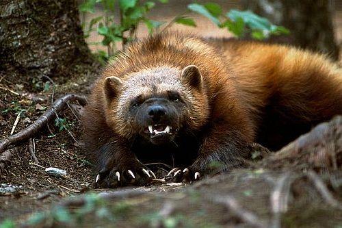 8 Binatang Yang Memiliki Cakar Atau Kuku Paling Tajam Si